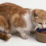 Чем лучше кормить кошку: кормом или натуральным питанием?